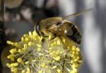 Biene auf Palmkätzchen (c) Fotolia
