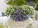 Blaues Gänseblümchen (C) Kientzler