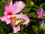 Hibiscus mit Schwalbenschwanz (c) Shutterstock