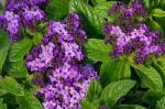 Garten-Vanilleblume (c) Shutterstock