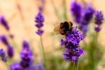 Echter Lavendel (C) Shutterstock