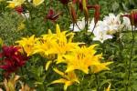 Lilien (c) Shutterstock
