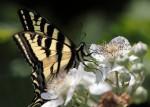 Schwalbenschwanz auf Brombeere (c) Shutterstock