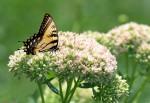 Sedum mit Schmetterling (c) Shutterstock