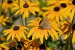 Sonnenhut (c) Shutterstock