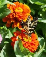 Zinnie mit Schmetterling (C) Shutterstock